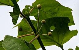 Haldina cordifolia (Haldu) in Ananthagiri forest, AP W IMG 9367