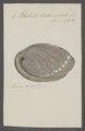Haliotis tuberculata - - Print - Iconographia Zoologica - Special Collections University of Amsterdam - UBAINV0274 081 14 0004.tif