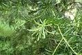 Halocarpus kirkii kz13.jpg