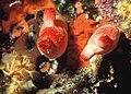 Halocynthia.jpg