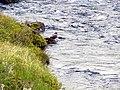 Harlekin duck02.jpg