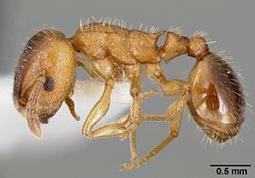 Harpagoxenus canadensis casent0006075 profile 1.jpg