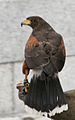 Harris Hawk 2 (2745183596).jpg