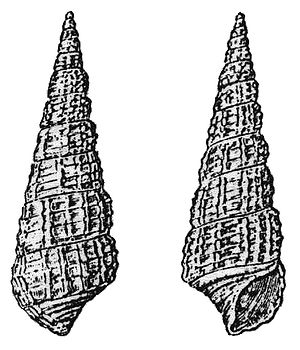 Eemian - Bittium reticulatum Picture from Harting (1886) assigned by him as 'Index fossil' for the Eemian.
