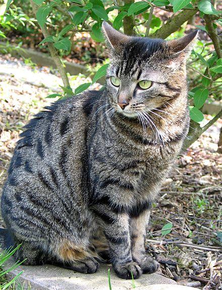 wiki liste katzenrassen