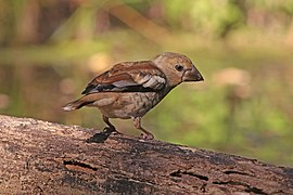 Hawfinch (Coccothraustes coccothraustes) juvenile.jpg