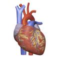 Heart Model.png