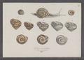 Helix mutabilis - - Print - Iconographia Zoologica - Special Collections University of Amsterdam - UBAINV0274 089 01 0027.tif