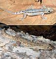 Hemidactylus frenatus showing two distinctive color patterns.jpg