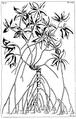 Herbarium Amboinense - Mangium candelarium Tab LXXI.png