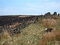 Herdwick sheep on Monks House Ride footpath, Cliviger, Lancashire.jpg