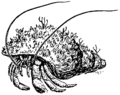 Hermitcrab1 (PSF).png