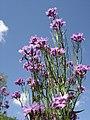 Hesperis matronalis flowers.jpg