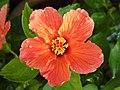 Hibiscus flower orange.jpg