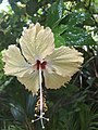 Hibiscus flower with water droplets.jpg