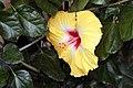Hibiscus rosa-sinensis Jason 7zz.jpg