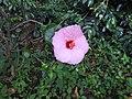 Hibiscus rosa sinensis hybrid-21-hanuman temple-muluvi-yercaud-salem-India.jpg