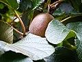 Hidden Kiwifruit (6924264389).jpg