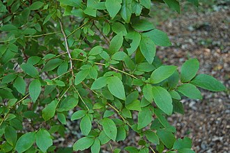 Vaccinium corymbosum - Image: Highbush Blueberry Vaccinium corymbosum Branch 3008px