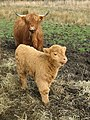 Highland cow and calf. - geograph.org.uk - 404228.jpg