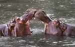 Hippopotamus amphibius Whipsnade Zoo.jpg