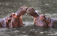 Polski: Hipopotam nilowy