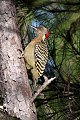 Hispaniolan Woodpecker (Melanerpes striatus) (8082777540).jpg