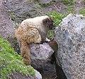 Hoary marmot2.jpg