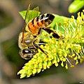 Honey Bees in Willow Trees (8345531686).jpg