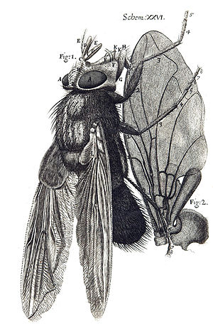 Biology - A Diagram of a fly from Robert Hooke's innovative Micrographia, 1665