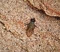 Houdini Fly - Cacoxenus indagator, a cleptoparasite of Red Mason Bee, Osmia bicornis - Flickr - gailhampshire.jpg