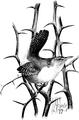 House Wren-Birdcraft-0136-15.png