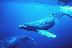 Humpback whales in singing position.jpg