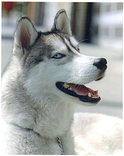 Husky on San Francisco sidewalk.jpg