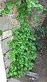 Hydrangea Anomala2.jpg