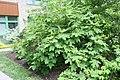 Hydrangea quercifolia Alice 5zz.jpg