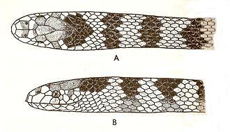 Sea snake - Hydrophis cyanocinctus