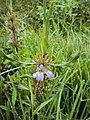 Hygrophila auriculata 05.JPG
