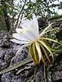 Hylocereus triangularis Rich Hoyer.JPG