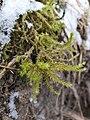 Hylocomiadelphus triquetrus 115506562.jpg
