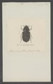 Hymenoplia - Print - Iconographia Zoologica - Special Collections University of Amsterdam - UBAINV0274 020 03 0031.tif