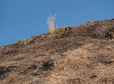 Hyparrhenia hirta grietas 20140811.jpg