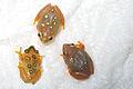 Hyperolius argus Al-ReedFrogs 01.jpg