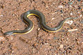 Hypiscopus plumbea, Rice paddy snake 2.jpg