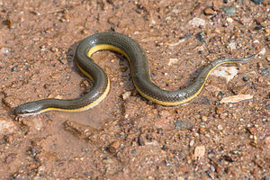 Rice paddy snake - Enhydris plumbea from Phetchabun Provonce, West Thailand