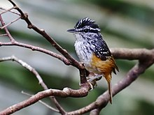 Hypocnemis cantator - Warbling antbird (male).jpg