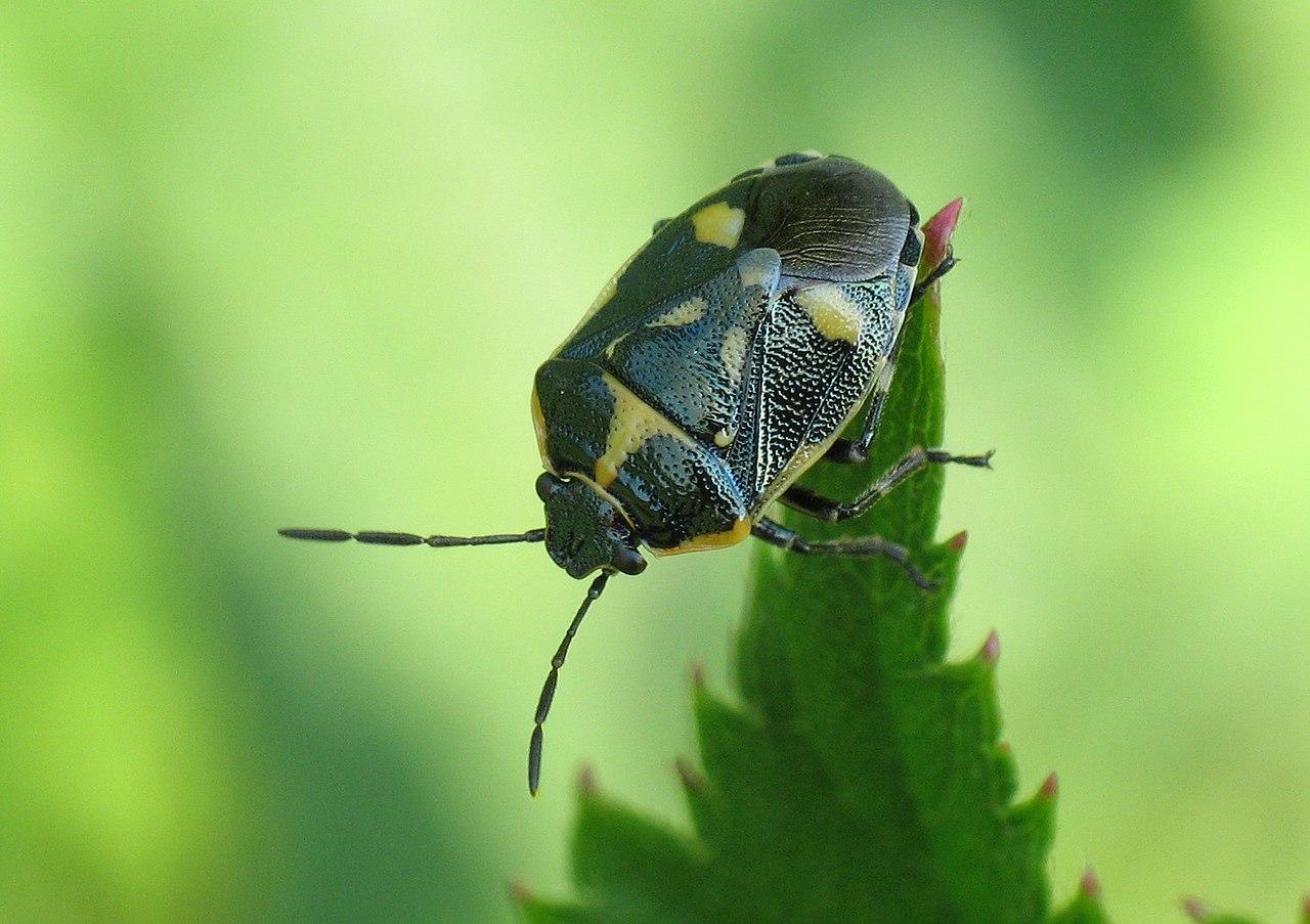 Bzdocha kapustová (Eurydema oleracea)