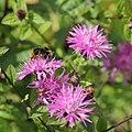 IMG 7438-Centaurea carniolica.jpg