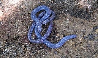 Iberian worm lizard - Two Iberian worm lizards