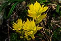 Illal Meadows…dwarf yellow paintbrush (Cussick's??) (7920652878).jpg